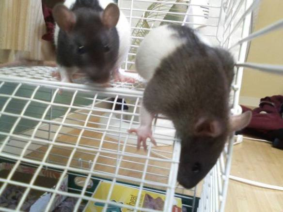 In loving memory of my first rats, Double and Helix.