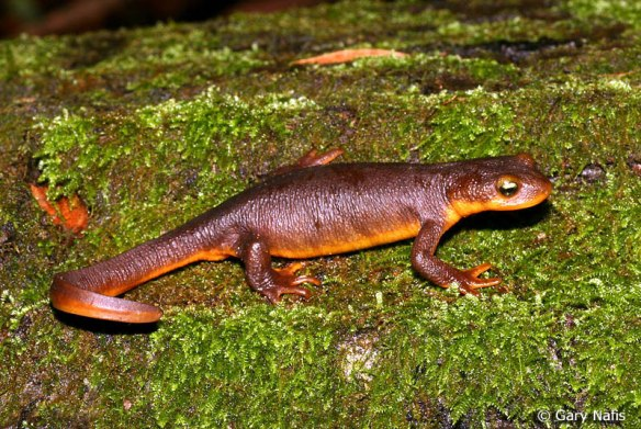 You could kill about 2,500 mice with the skin of one California newt, so don't eat them.
