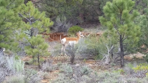 Pronghorn in Red Canyon.