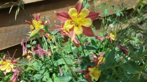 Here's a picture of a columbine. It has nothing to do with the current narrative.