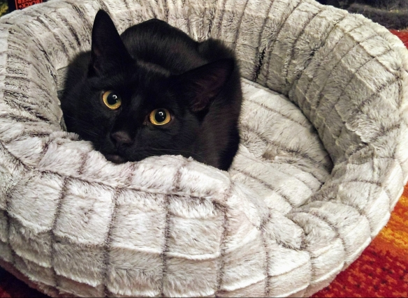 Black cat named Nibbler in his bed